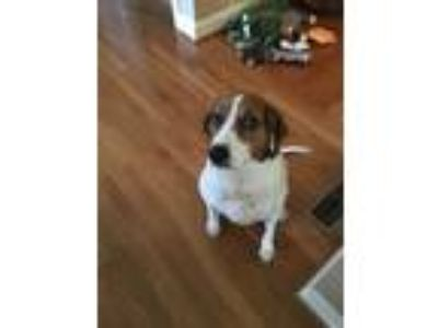 Adopt Cleo a White - with Brown or Chocolate Treeing Walker Coonhound /