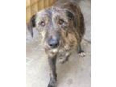 Adopt Whiskey a Airedale Terrier