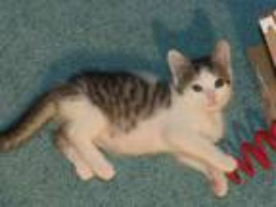 Adopt Calypso a Domestic Short Hair