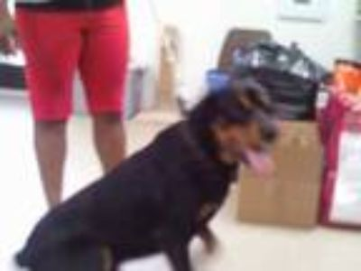 Adopt Max a Black Rottweiler / Mixed dog in Fort Worth, TX (25280962)