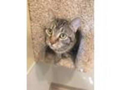 Adopt Orville a Domestic Short Hair
