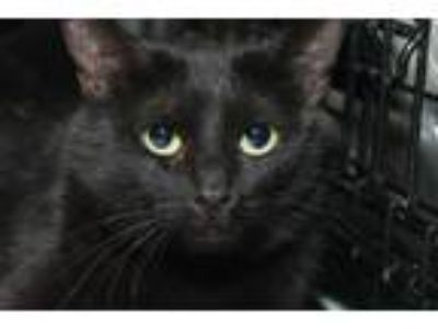 Adopt Pashmina a Domestic Short Hair