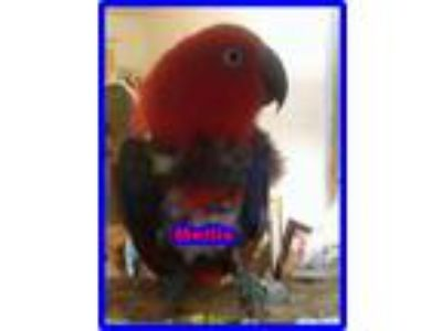 Adopt Mellie a Red Eclectus bird in Tampa, FL (16687457)