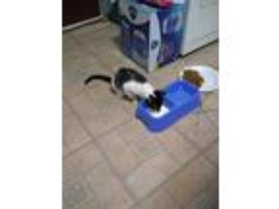 Adopt Panda a Black & White or Tuxedo Domestic Shorthair / Mixed cat in
