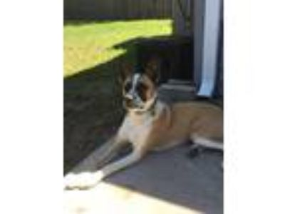 Adopt Leeloo a Tan/Yellow/Fawn - with White Shepherd (Unknown Type) / Akita /