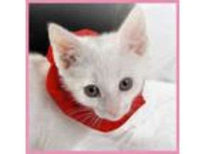 Adopt Pink a Domestic Short Hair