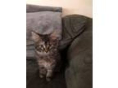 Adopt RC-Maeve a Domestic Long Hair, Tabby