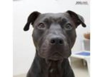 Adopt Creed a Black American Pit Bull Terrier / Mixed dog in Noblesville