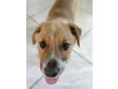 Adopt Tank a Mixed Breed (Medium) / Mixed dog in Fort Lupton, CO (25923066)