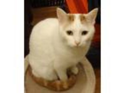 Adopt Zane a Domestic Shorthair / Mixed (short coat) cat in Valley Park