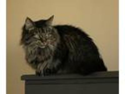 Adopt Perla a Brown Tabby Maine Coon (long coat) cat in Lombard, IL (25344990)