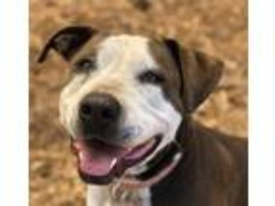 Adopt Zoe a Pit Bull Terrier