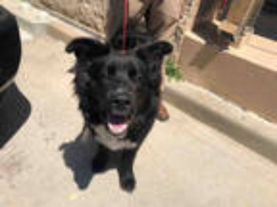 Adopt BUDDY* a Black - with White Labrador Retriever / Mixed dog in Garland