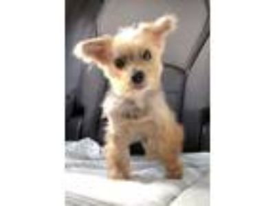 Adopt Candy a Yorkshire Terrier