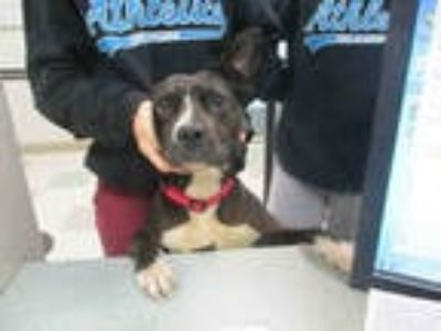Adopt SHASTA a Black - with White American Pit Bull Terrier / Mixed dog in
