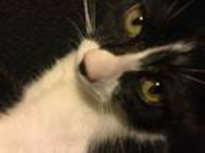 Adopt Bella a Black & White or Tuxedo Calico / Mixed (medium coat) cat in