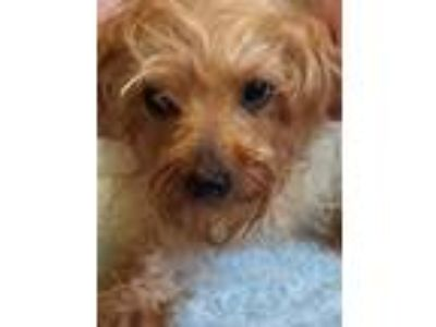 Adopt Jada a Yorkshire Terrier