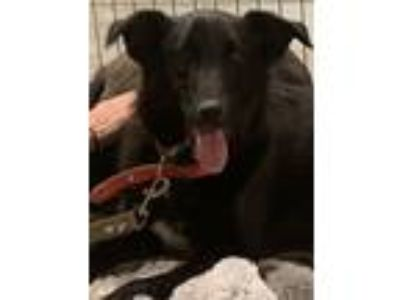 Adopt Freddy a Black Labrador Retriever
