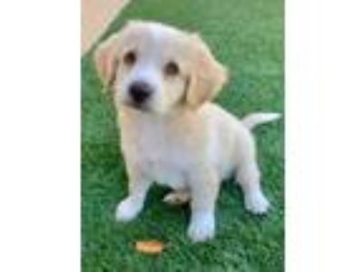 Adopt Biggie a Cocker Spaniel / Beagle / Mixed dog in San Diego, CA (25872583)