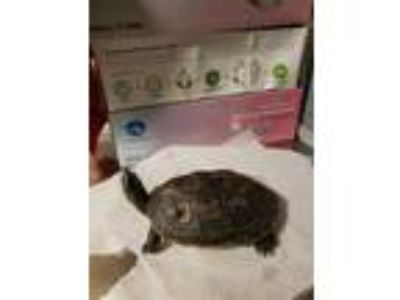 Adopt SHELLBERT a Turtle - Other / Mixed reptile, amphibian
