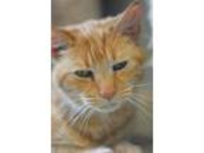 Adopt OJ a Orange or Red Domestic Shorthair / Domestic Shorthair / Mixed cat in