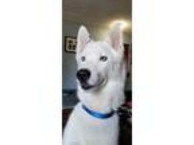 Adopt Balki a White Husky / Mixed dog in Whitehall, PA (24240862)