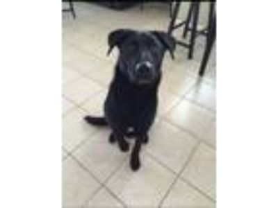 Adopt Zero a Black Labrador Retriever / German Shepherd Dog / Mixed dog in