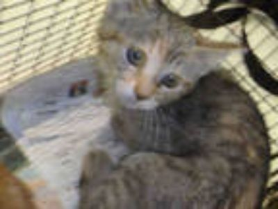 Adopt TOMMY a Brown Tabby Domestic Shorthair / Mixed (short coat) cat in Los