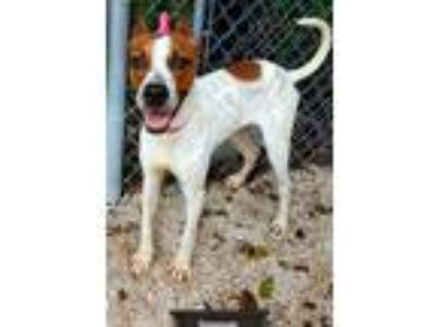 Adopt Donovan a Red/Golden/Orange/Chestnut - with White Terrier (Unknown Type