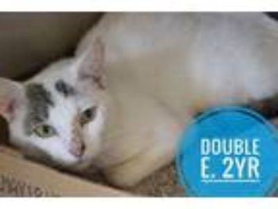 Adopt Double E a Domestic Short Hair