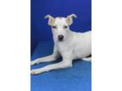 Adopt Olivia-080902L a White Feist / Labrador Retriever / Mixed dog in Tupelo