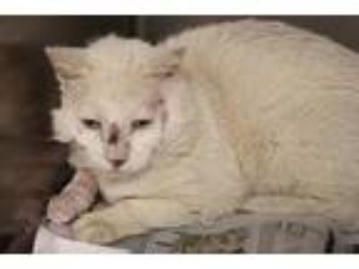 Adopt Marzipan a White Domestic Shorthair / Domestic Shorthair / Mixed cat in