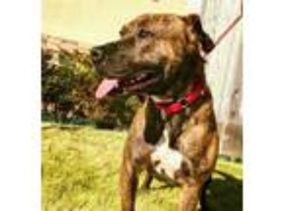 Adopt DARLA a Brown/Chocolate American Pit Bull Terrier / Mixed dog in Pasadena
