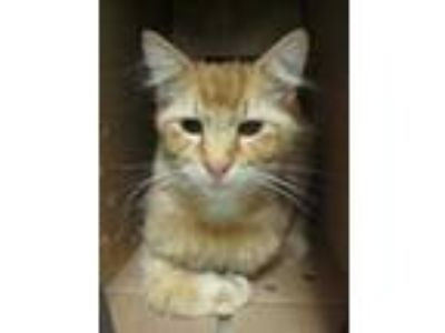 Adopt Simon a Orange or Red Maine Coon / Domestic Shorthair / Mixed cat in