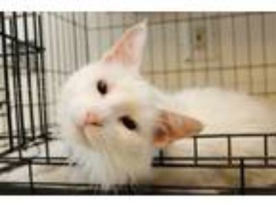 Adopt Vicky a Domestic Long Hair