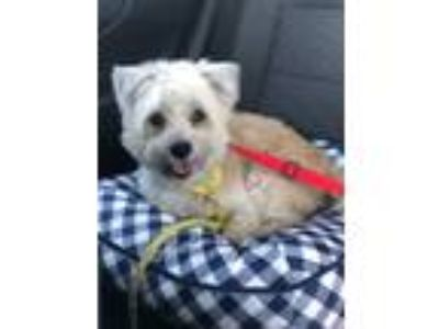 Adopt Erika a White - with Brown or Chocolate Shih Tzu / Mixed dog in Las Vegas