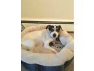 Adopt Miss. Diana a Jack Russell Terrier, Beagle