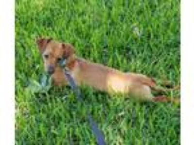 Adopt Carlton KQP a Tan/Yellow/Fawn Dachshund / Mixed dog in Rosemont
