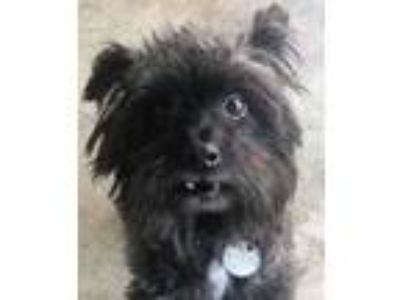 Adopt Ace a Black Toy Poodle / Mixed dog in Walnut Creek, CA (25942736)