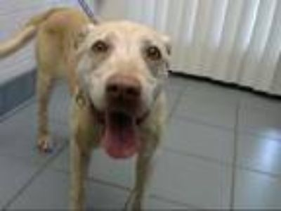 Adopt PENNY a Labrador Retriever, Mixed Breed