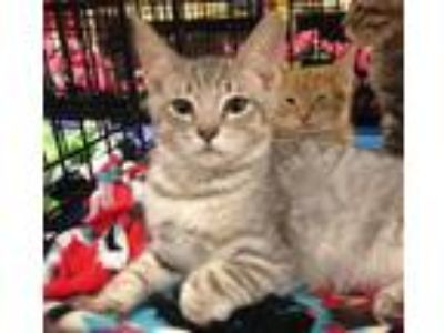 Adopt Tonka - new pictures a Domestic Short Hair, American Shorthair