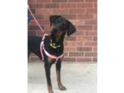 Adopt Jinx a Black - with Tan, Yellow or Fawn Doberman Pinscher / Mixed dog in