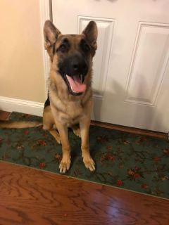 Pure breed 9month old German Sheperd