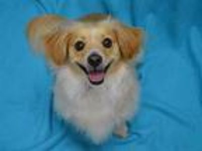 Adopt Missy a Cocker Spaniel, Jack Russell Terrier