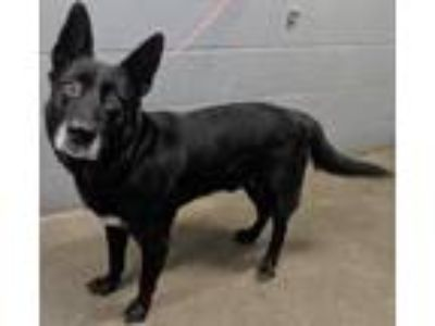 Adopt Onyx**NOT AVAILABLE UNTIL 7/21 a Shepherd, Mixed Breed