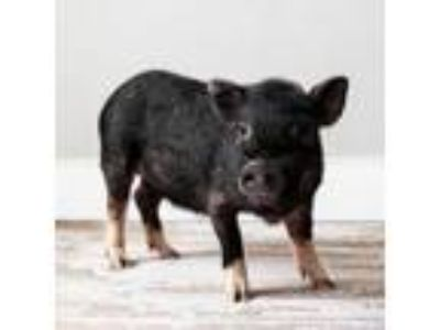Adopt Oopsie a Pot Bellied, Pig
