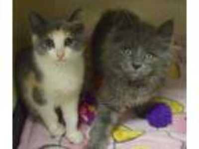 Adopt Truffle a Gray or Blue Domestic Longhair / Domestic Shorthair / Mixed cat