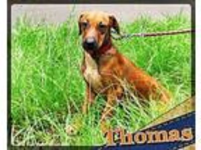 Adopt XP Thomas in Louisiana a Brown/Chocolate - with White Labrador Retriever /