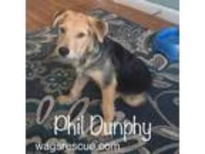 Adopt PHIL DUNPHY TALBOT-A MODERN FAMILY PUP a Beagle, Terrier