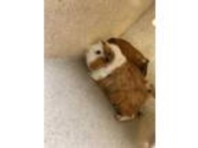 Adopt Little Star a Brown or Chocolate Guinea Pig / Mixed small animal in